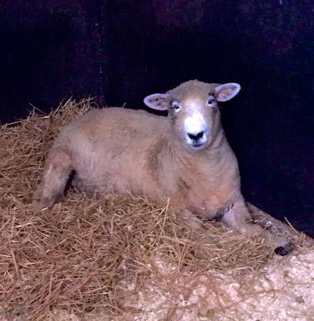 Beautiful, dainty sheep - Picture of Catskill Animal