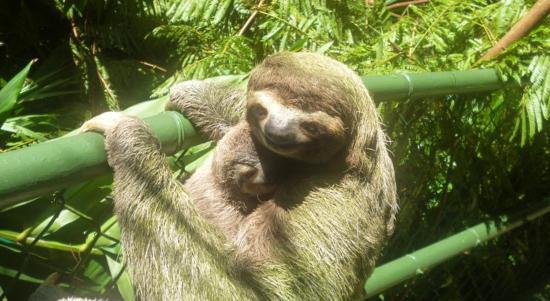 Jungle Villa: Sloth on the jungle bridge to the villa