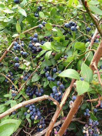Penetanguishene, Canadá: Blueberry Bush