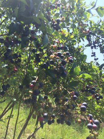 Six Mile, SC: Blueberries!