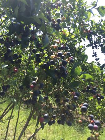 Six Mile, Carolina del Sur: Blueberries!