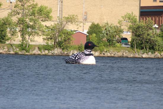Virginia, MN: Giant Loon