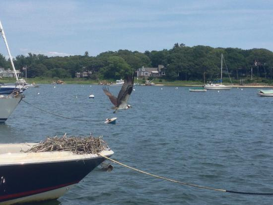 Cotuit, MA: Mom Osprey near Osterville