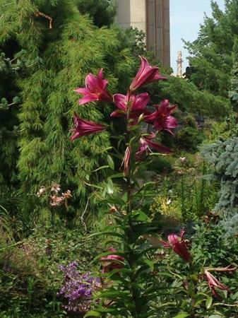 Allen Centennial Gardens: Lilies