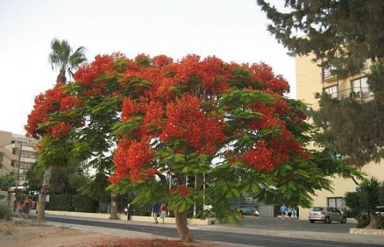 Lantiana Napa Aparthotel: Дерево на соседней улице- глаз не оторвать