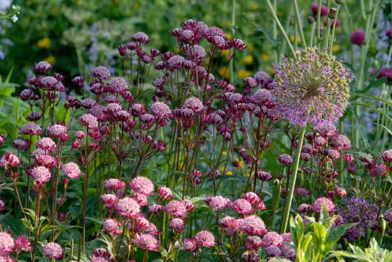 Barn Close: Astrantias