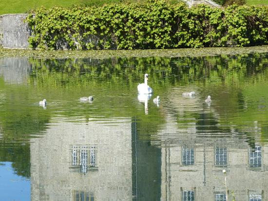 Kendal, UK: Swans on the lake @ Sizergh Castle
