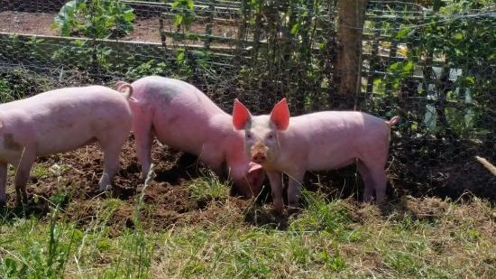 Folly Farm Centre: The Pigs!
