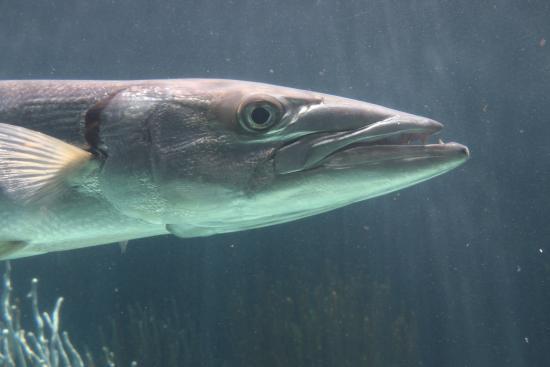 แฮมิลตัน, เบอร์มิวดา: Barracuda