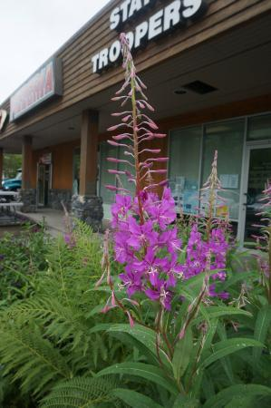 Fireweed that was growing just outside The Ice Cream Shop. It flavors one of there ice creams.