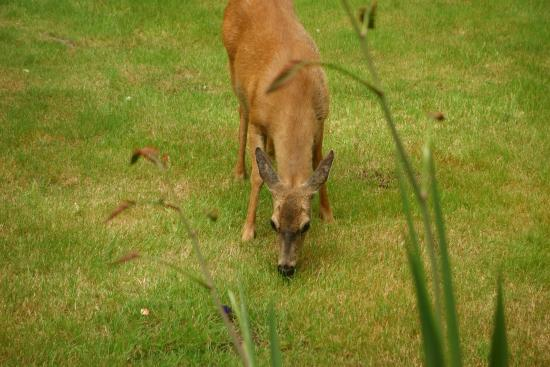 Cape Lookout Bed n Breakfast: Deer grazing in the yard during breakfast