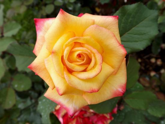 Allentown Rose Gardens: 9