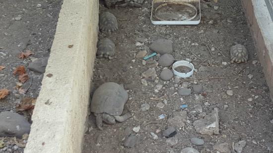 Caged Tortoises