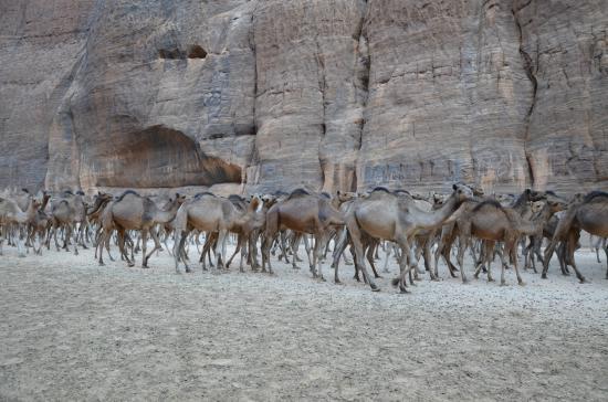 Stado wielbłądów wraca z wodopoju