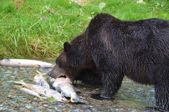 Fish Creek Wildlife Observation Site: Mira, a sow, takes a bite out of a salmon