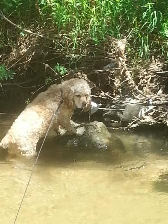Cherry Creek Trail : My Dog enjoying a dip in the river