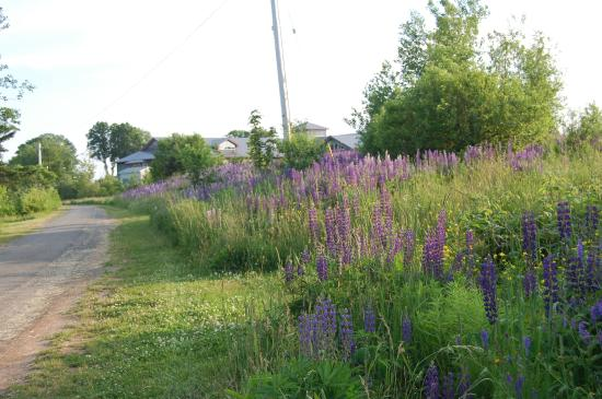 Lupins along walk in Pictou