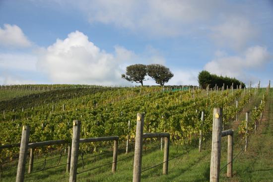 Isla Waiheke, Nueva Zelanda: Vines on the sun-filled slopes  of Thomas Estate vineyard