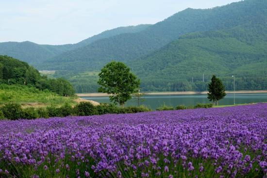 Lake Kanayama Forest Park : lavender against green mountain backdrop