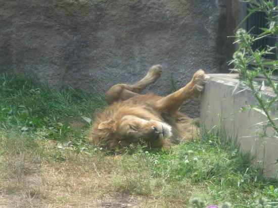 アイドルのレッサーパンダ。顔が可愛い。 - Picture of Asahiyama Zoo, Asahikawa - TripAdvisor