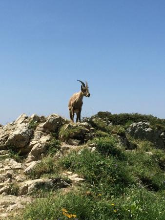 La Tournette: One of several Ibex I came across on the hike