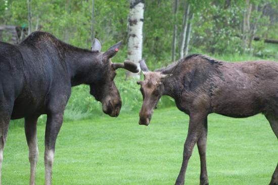 Wildflower Lodge at Jackson Hole: Moose in the Backyard of Wildflower Inn