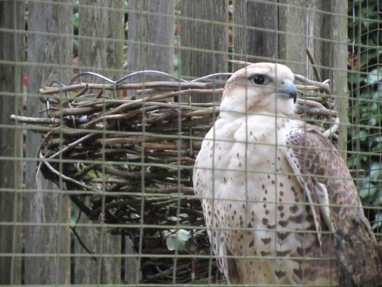 North Island Wildlife Recovery Centre: Raptor
