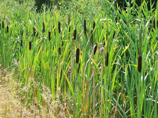 Cattail Creations: Native cattail is a versatile wetland plant and can be used for weaving, braiding and coiling.