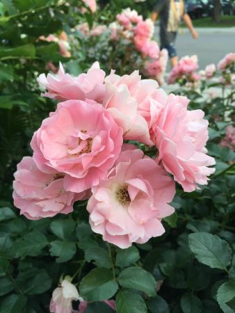 Traditions Guest House: Patti's front garden roses