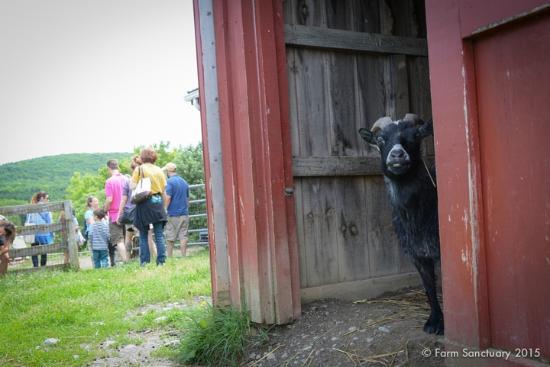 Farm Sanctuary: Every animal has a story. Learn Simon goat's.