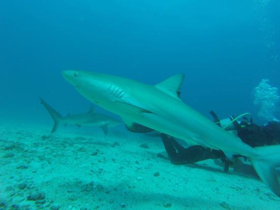 Simpson Bay, Saint-Martin / Sint Maarten: Shark Awareness Dive