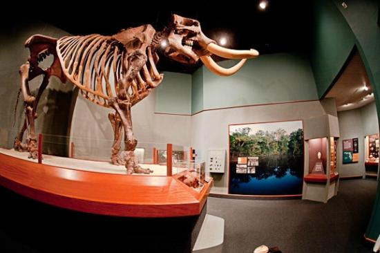"Guided Tours in Florida's Capital and The Forgotten Coast: ""Manny"" a Mastodon Skeleton  on display in the Museum of Florida History"