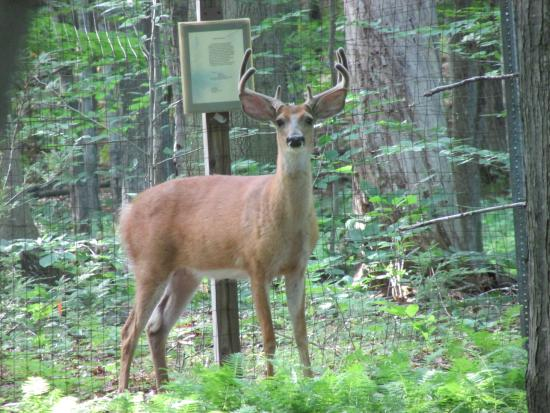 Depew, NY: One of the 2 bucks that I was able to photograph