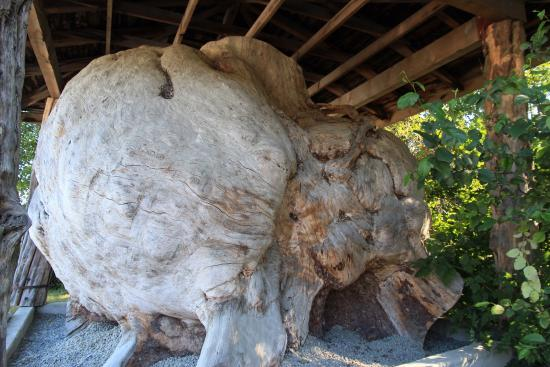 World 's largest Burl