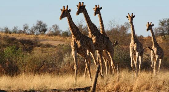 Leopard Lodge: Graceful giraffes walking down the Lodge's territory