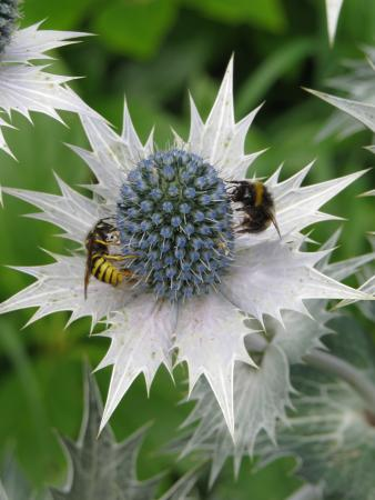 Bourton-on-the-Hill, UK: Silver thistles and bees