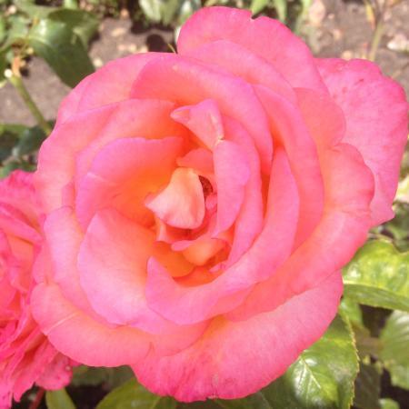Ogród Różany Różanka