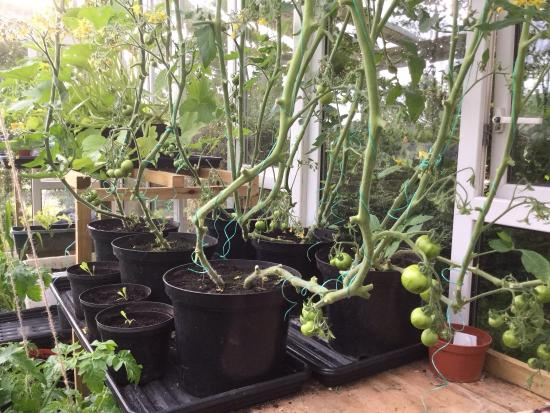 Pat's Pizza: Produce from our greenhouse