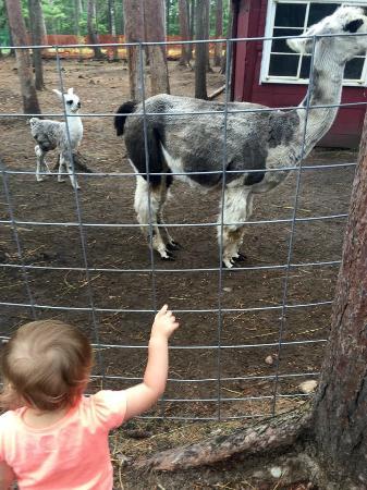 Baraga, MI: Two week old lama with mother.