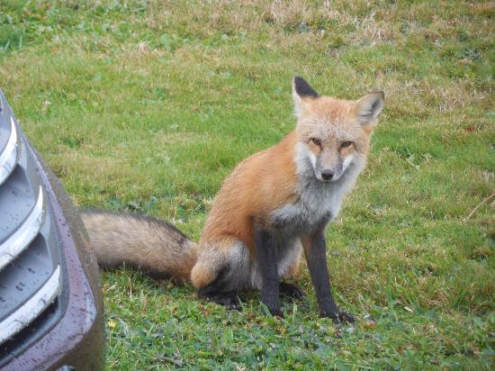 The Birches Housekeeping Cottages: Our daily visit from our Fox