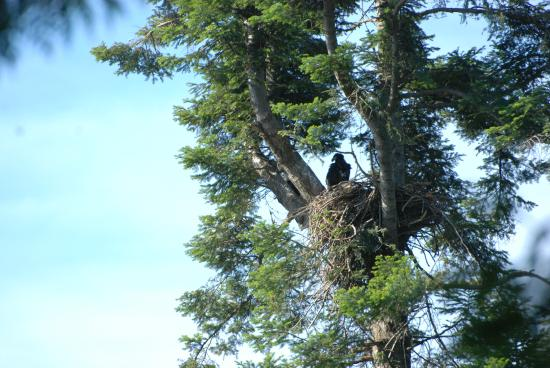 Caprice Bed & Breakfast : Young bald eagle