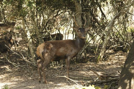 Parco Ente Foreste di Assai: cervo sardo/foto Massimo Piacentino