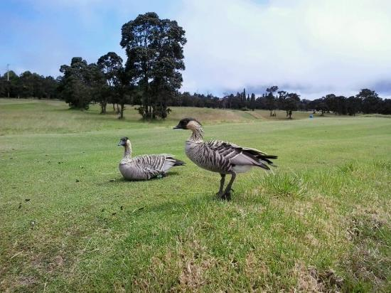 Volcanoes, HI: golf sanctuary for nene (Hawaiian geese)