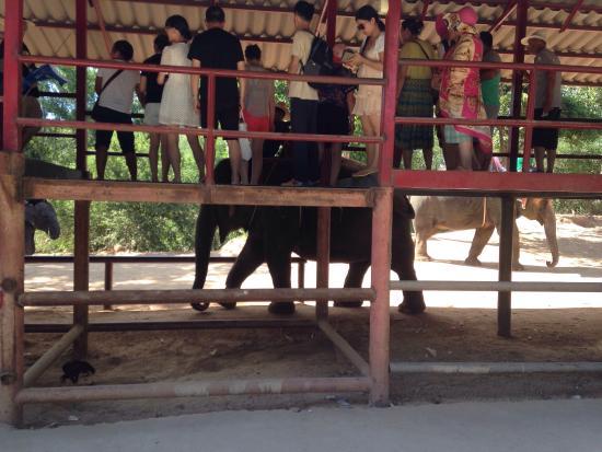 Elefant trekking tur - Picture of Chang Siam Park, Pattaya - TripAdvisor