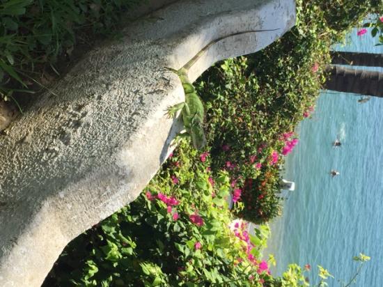 Dolphin Cove Inn: Iguana verde