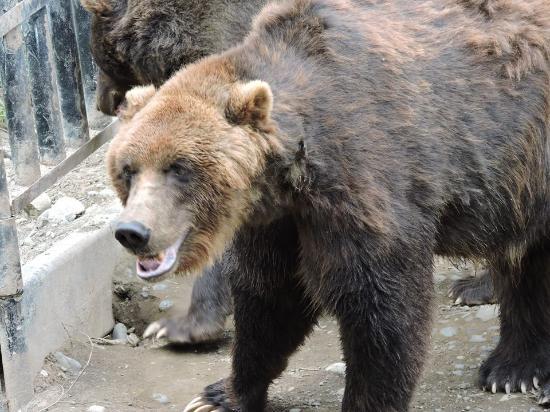 Tiger - Picture of Alaska Zoo, Anchorage - TripAdvisor