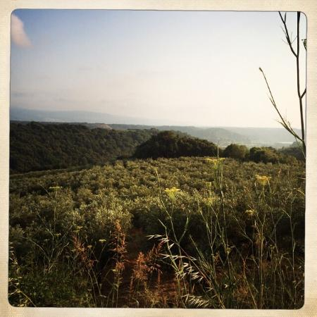 Agriturismo Le Carolee: Olive groves.