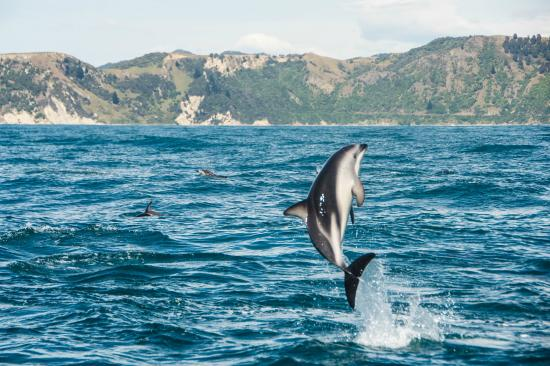 Kaikoura, New Zealand: Dolphin Tricks