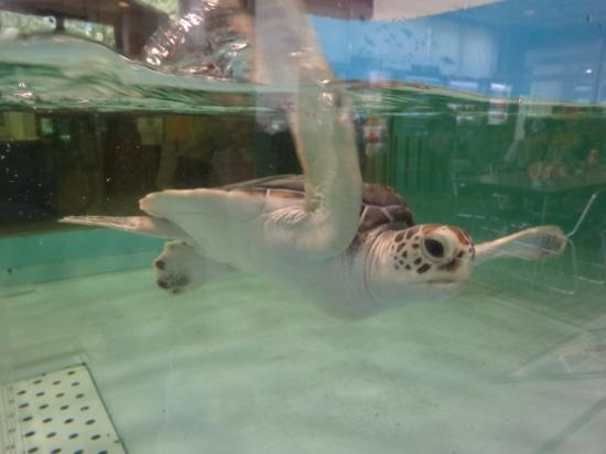 Hekinan Seaside Aquarium - Hekinan Youth Maritime Science Museum: 赤ちゃんウミガメもいました