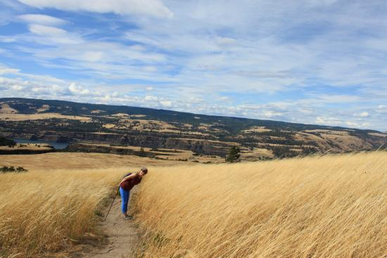 Mosier, OR: Waving fields of gold!